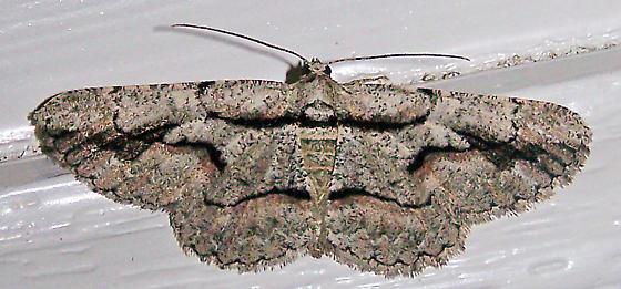 Anavitrinella atristrigaria - female