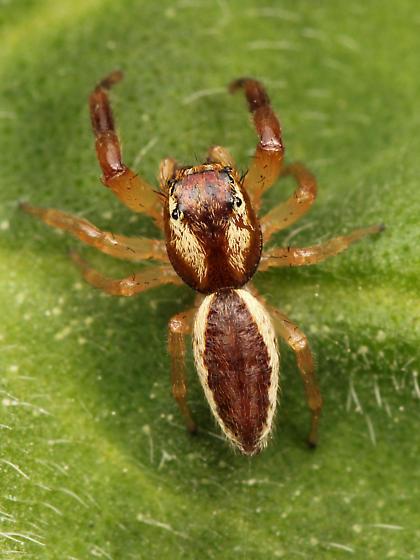 Phanias watonus - male