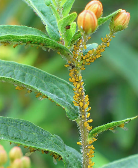 Oleander Aphids - Aphis nerii