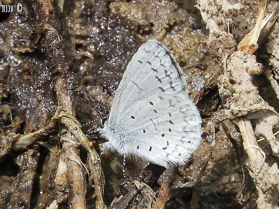 is this Celastrina echo?  - Celastrina echo