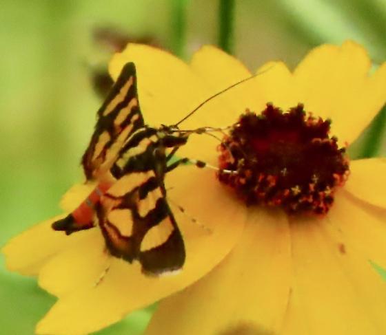 Syngamia florella  - Syngamia florella
