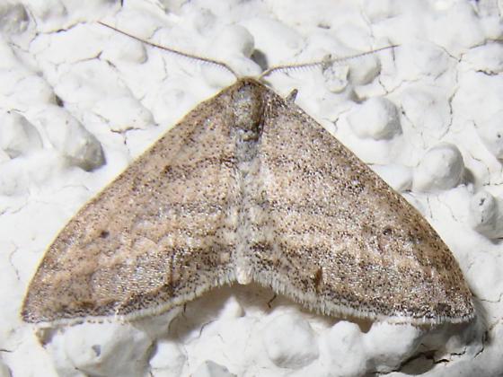 Lobocleta plemyraria? - Lobocleta plemyraria - male