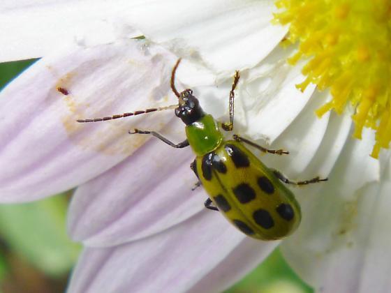 Round- necked Longhorn Beetle - Diabrotica undecimpunctata