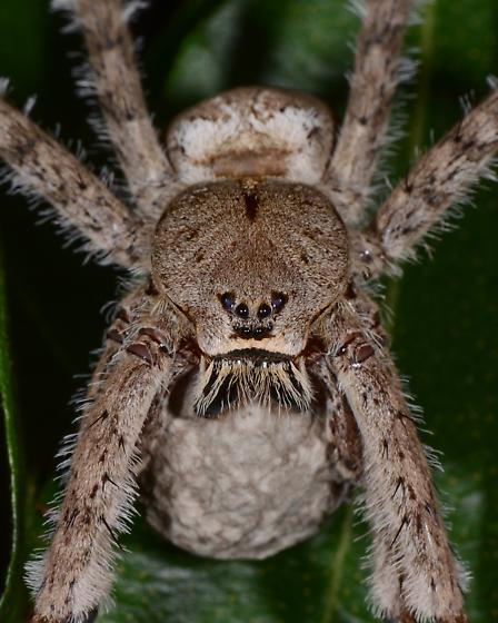 Fishing Spider with egg sac - Dolomedes albineus
