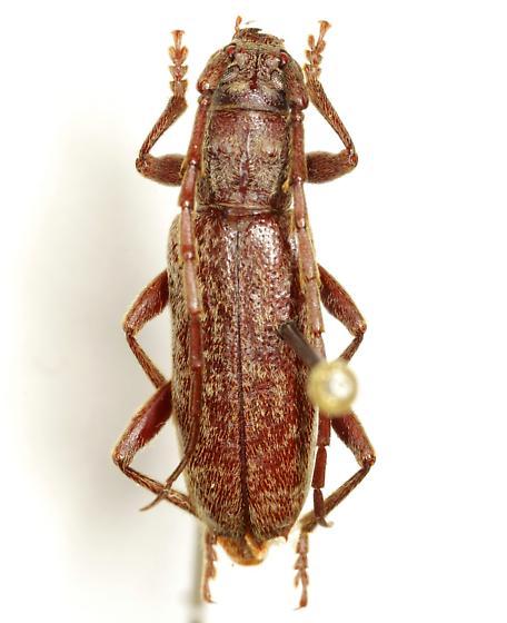 Parelaphidion incertum (Newman) - Parelaphidion incertum