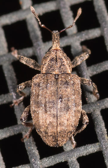 Weevil for ID - Conotrachelus seniculus