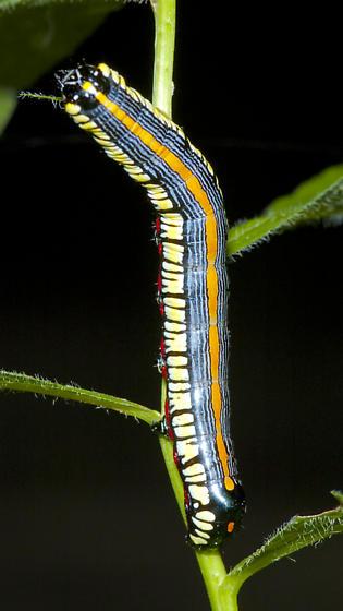 Cucullia - Cucullia convexipennis