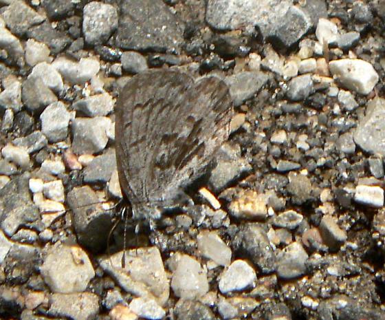 Light Blue Butterfly - Celastrina