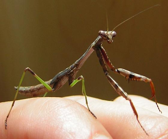Carolina mantis nymph for PA - Stagmomantis carolina - male