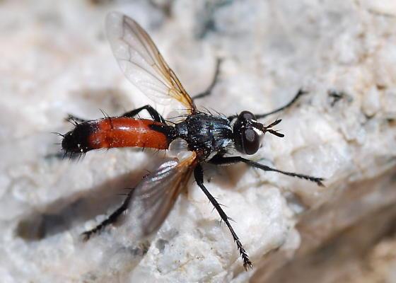 Tachinid - Cylindromyia intermedia