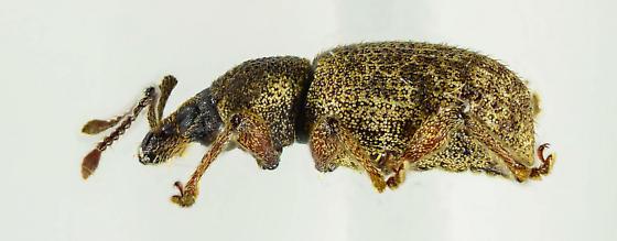 Pissodes? - Otiorhynchus singularis