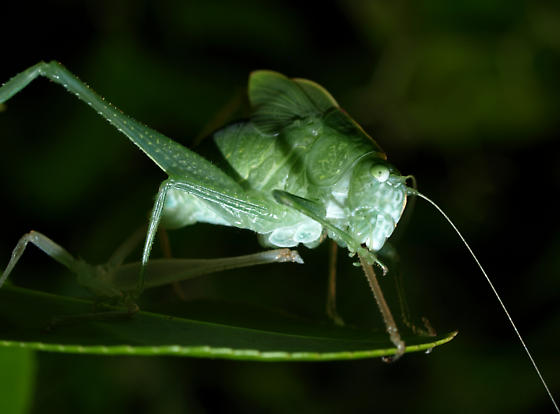 What kind of katydid is this? - Microcentrum - female