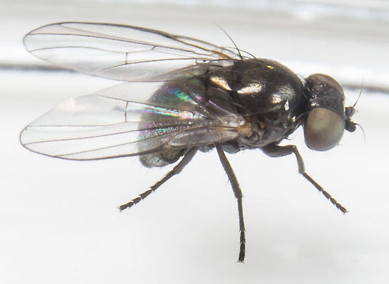Fly - Melanagromyza