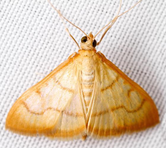 Helvibotys or Neohelvibotys? - Neohelvibotys arizonensis