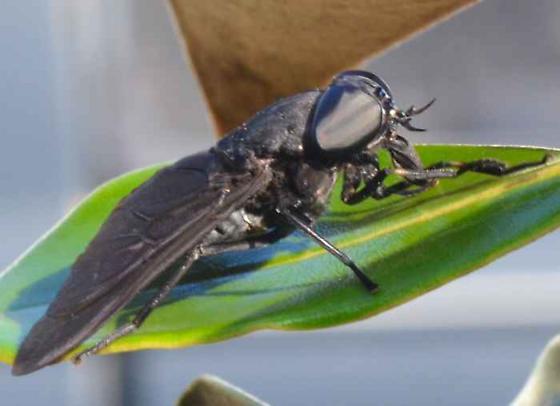 Very large fly - Tabanus atratus - female