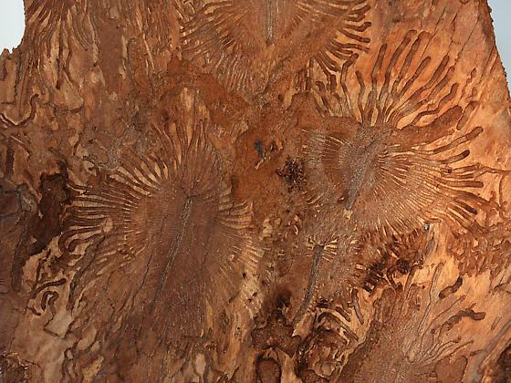 Larva trails under pine bark