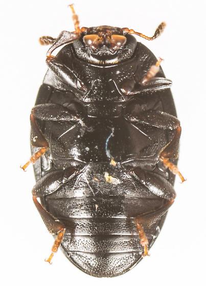 Beetle - Tritoma unicolor