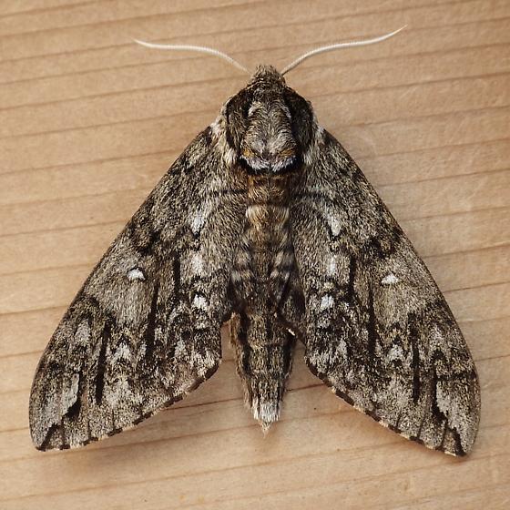 Sphingidae: Ceratomia undulosa - Ceratomia undulosa