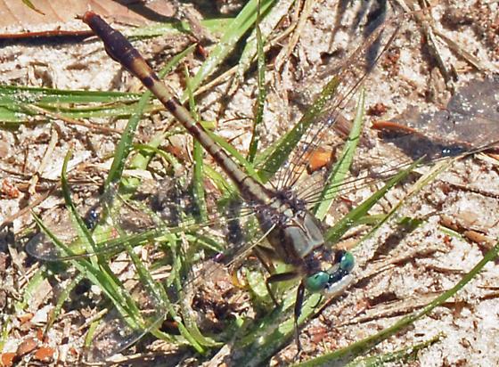 ? - Arigomphus pallidus - male