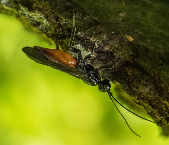 wasp – genus Atanycolus?