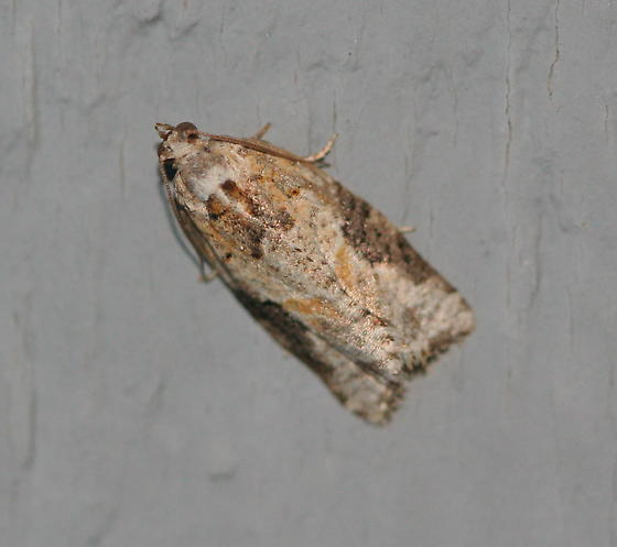 Unknown Moth - Argyrotaenia mariana