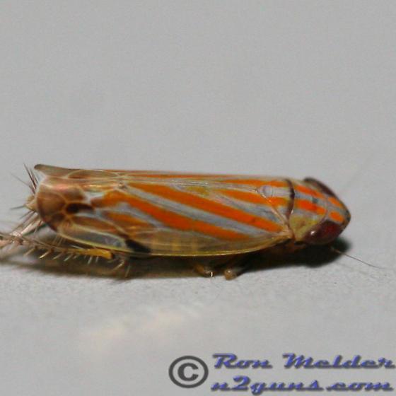Leafhopper 01 - Deltanus texanus