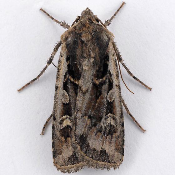 Unknown Noctuid - Euxoa henrietta