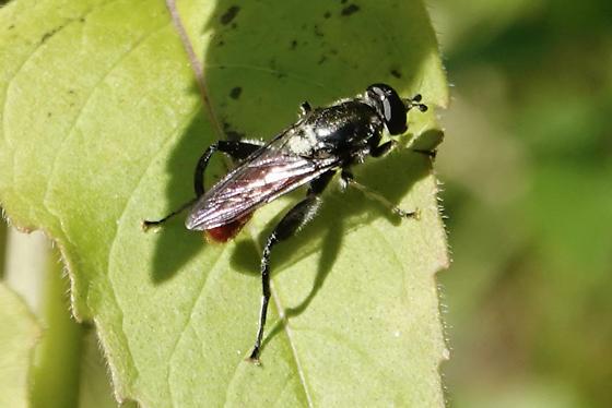 Fly - Xylota bicolor