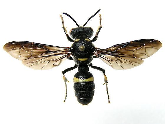 Is this a Mason wasp?  Euodynerus sp.? - Cerceris fumipennis - female