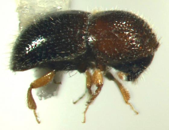 Xylosandrus compactus, lateral view - Xylosandrus compactus - female