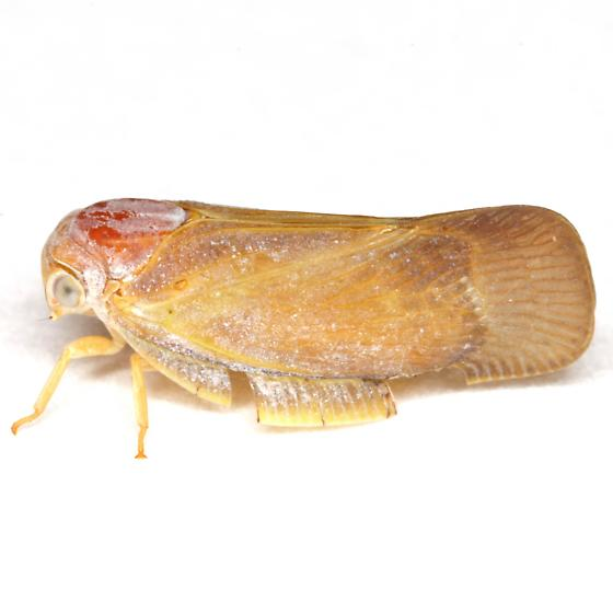 Flatormenis saucia Van Duzee - Flatormenis saucia