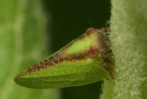 Two-striped Planthopper - Acanalonia bivittata