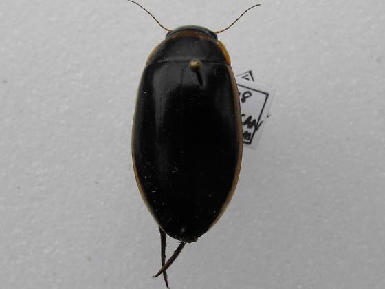 Dytiscus sp. - Dytiscus cordieri - female