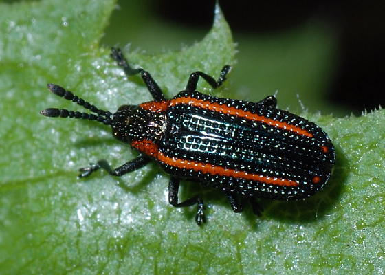 Leaf Beetle on Composite - Microrhopala rubrolineata