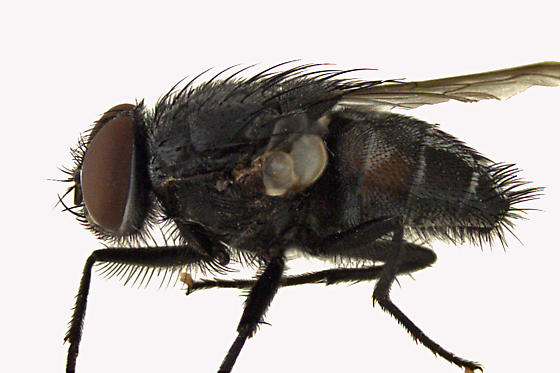 House Fly - Muscina
