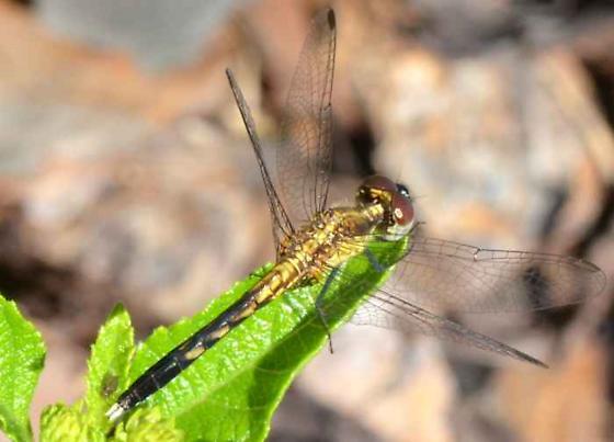 Little Blue Dragonlet (Female)?