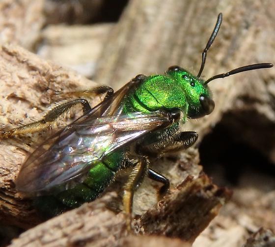 Sweat Bee - Augochlora pura