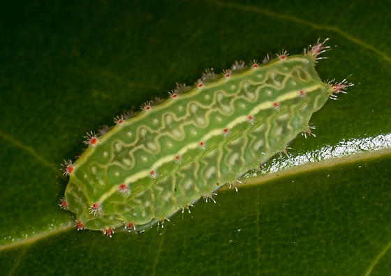Green Slug caterpillar - Natada nasoni