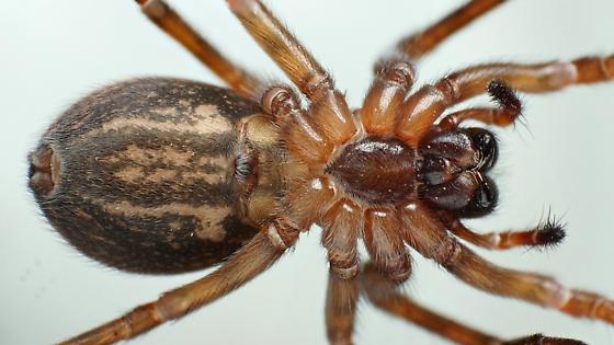 Callobius - Callobius pictus - female