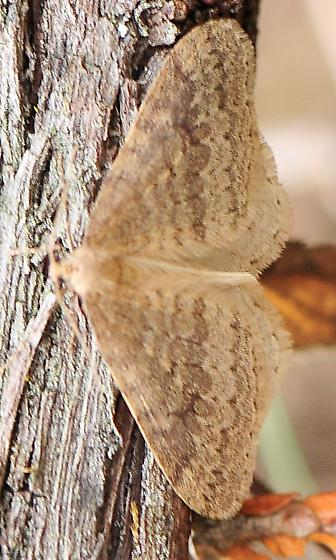 Operophtera bruceata - Bruce Spanworm - Hodges#7437  - Operophtera bruceata - male