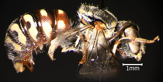 Hymenoptera - Dianthidium - male