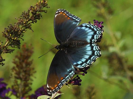 Swallowtail? - Limenitis arthemis