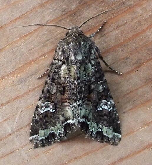 Noctuidae: Melanchra adjuncta - Mamestra configurata