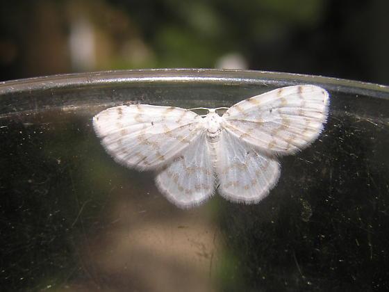 Fragile White Carpet, 4:06pm - Hydrelia albifera