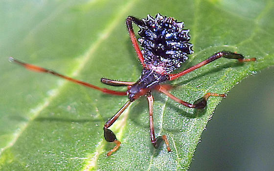 Is this  Acanthocephala terminalis nymph - Acanthocephala