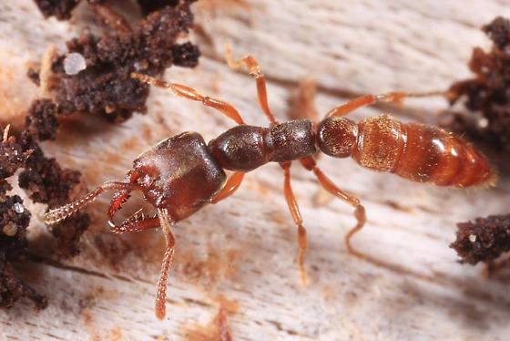 Dracula Ant - Stigmatomma pallipes