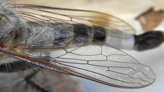 Robber Monster (wing pattern) - Efferia albibarbis - male
