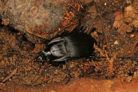 Ground Beetle - Dicaelus? - Dicaelus