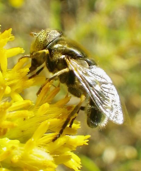 Diptera 10.20.17 - Eristalinus aeneus