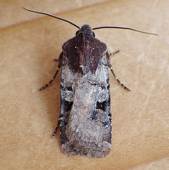 Noctuidae: Euxoa albipennis - Euxoa albipennis